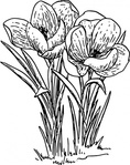 rose,flower,crocus,nature,plant,biology,botany,gardening,line art,season,spring,black and white,contour,outline,media,clip art,externalsource,public domain,image,png,svg,wikimedia common,psf,wikimedia common,wikimedia common,wikimedia common