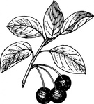 cherry,nature,plant,fruit,food,biology,botany,line art,season,summer,black and white,contour,outline