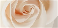 white,rose,close,material,backround,wallpaper,flower,cream,plant,nature