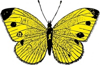 yellow,butterfly,animal,insect,media,clip art,externalsource,public domain,image,png,svg