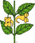 impatiens,aurella,nature,plant,flower,herb,yellow,outline,externalsource