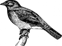 bulbul,animal,bird,biology,zoology,ornitology,line art,black and white,outline,contour,media,clip art,externalsource,public domain,image,png,svg,wikimedia common,psf,wikimedia common,wikimedia common,wikimedia common