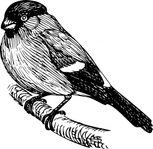 bullfinch,animal,bird,biology,zoology,ornitology,line art,black and white,contour,outline,media,clip art,externalsource,public domain,image,png,svg,wikimedia common,psf,wikimedia common,wikimedia common,wikimedia common