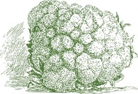 cauliflower,plant,vegetable,media,clip art,externalsource,public domain,image,png,svg