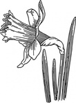 daffodil,nature,plant,flower,biology,botany,gardening,line art,season,spring,black and white,contour,outline,media,clip art,externalsource,public domain,image,png,svg,wikimedia common,psf,wikimedia common,wikimedia common,wikimedia common