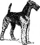airedale,animal,mammal,pet,dog,biology,zoology,line art,dog breed,black and white,contour,outline,media,clip art,externalsource,public domain,image,png,svg,wikimedia common,psf,wikimedia common,wikimedia common,wikimedia common