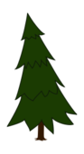 spruce,tree,picea